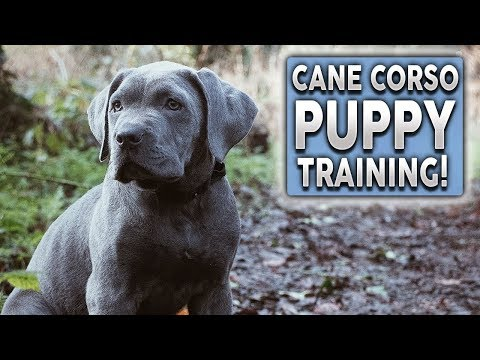cane-corso-puppy-training!-the-most-important-thing-all-owners-should-do-with-their-dogs!
