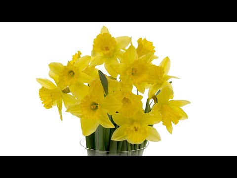 daffodil-care-and-handling