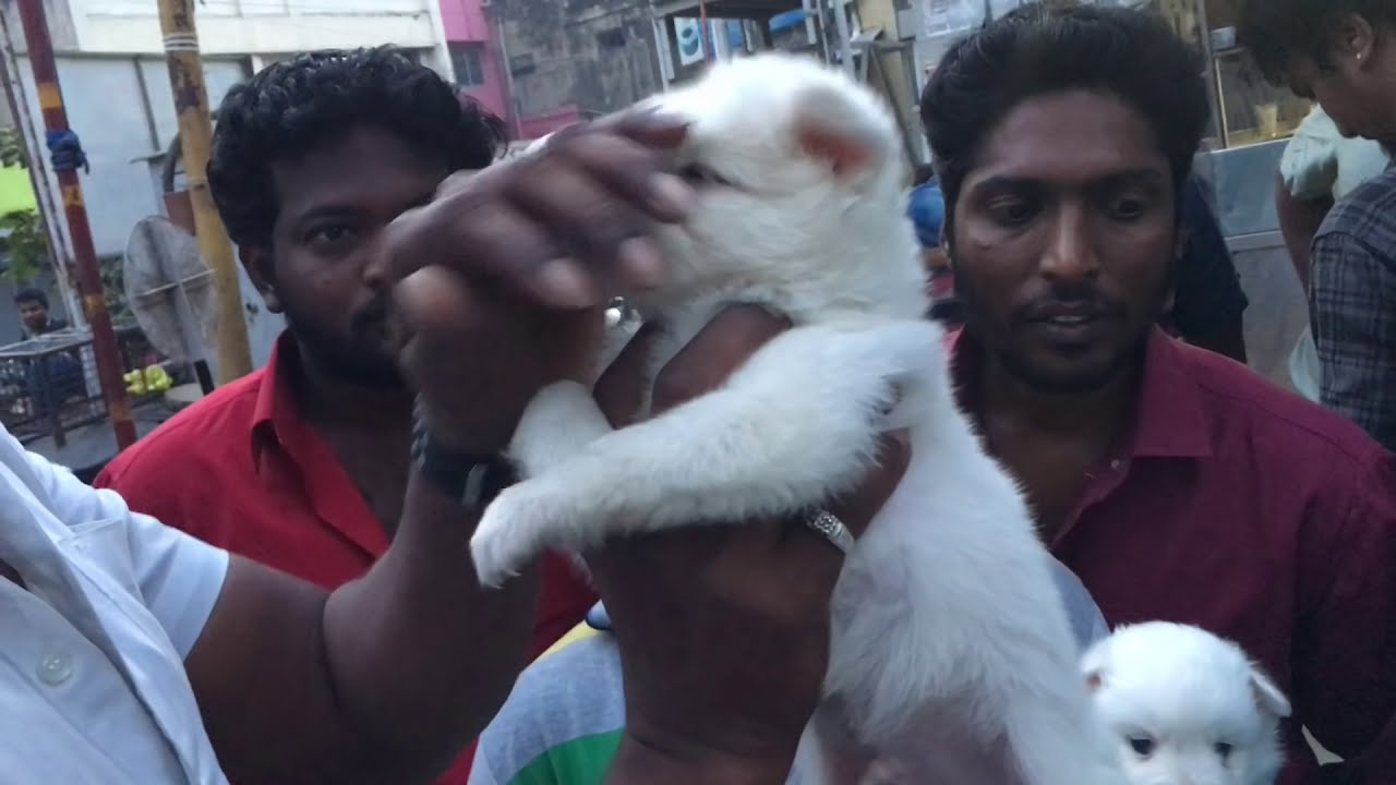Chennai Pet Market Dogs Sale Pets Sale Youtube