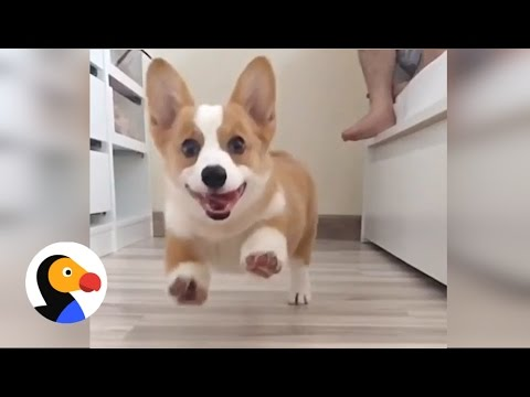 7 things all corgi owners know the dodo youtube