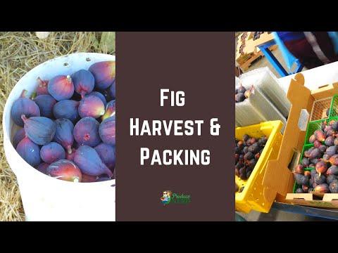 Fresh Fig Harvest & Packing