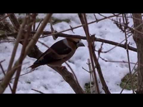Ein Kernbeißer Ein Finkenvogel Auf Der Futtersuche 12 Februar 2017