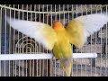 Ampuh Banget Suara Pancingan Lovebird Ngekek Panjang Jamin Langsung Nyaut  Mp3 - Mp4 Download