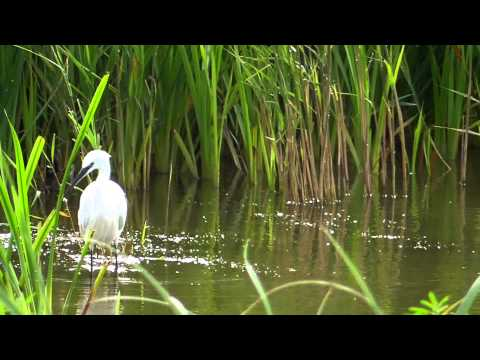 Little Egret Fishing At Radipole Lake