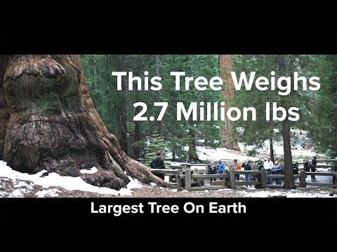 This Tree Weighs 2.7 Million lbs - The General Sherman Tree - The Worlds Largest Tree