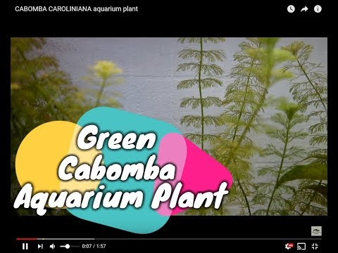 CABOMBA CAROLINIANA aquarium plant