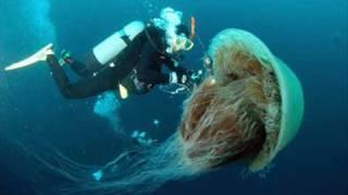 Biggest Jellyfish in the World!!!