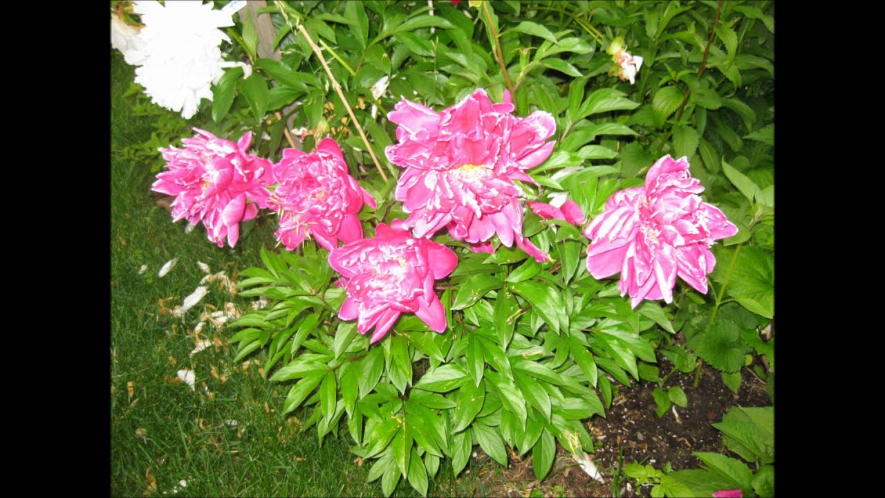 Pictures Of Our Beautiful Summer Flower Garden Ontario Canada