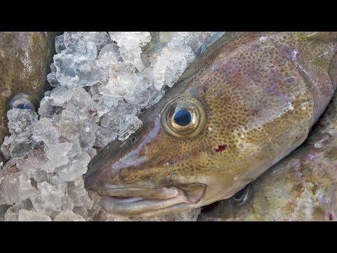 Fangverbote und Einschränkungen für Dorsch in der östlichen Ostsee