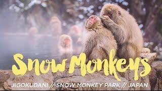Japanese Snow Monkeys in the Hot Springs