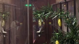 金色のサナギが美しい蝶オオゴマダラの羽化する瞬間をとらえた映像です...