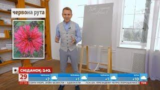 Чому жовта рута у пісні червона – Експрес-урок української мови