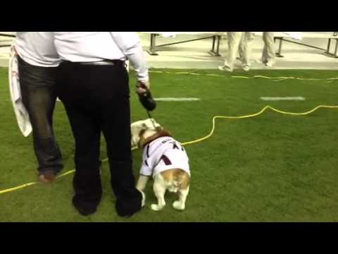 Mississippi State Mascot before the Alabama Game 2012