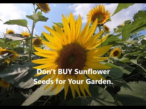 DON'T  Buy SUNFLOWER  Seeds For Your Garden.  Use This TRICK