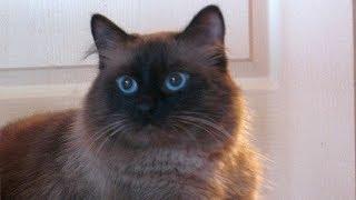 Гипоаллергенные кошки породы невская маскарадная: характер и уход.  Видео