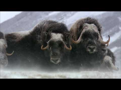 Дикая природа России  Арктика  National Geographic Full HD 1080