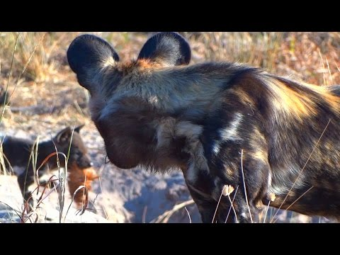 Pack of African Wild Dogs Return From the Hunt to Feed Pups