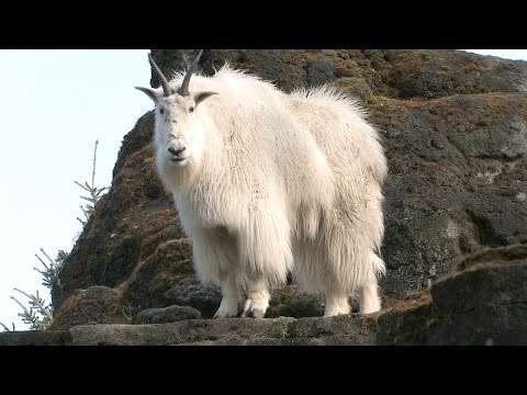 Mountain Goats Aren't Actually Goats | National Geographic