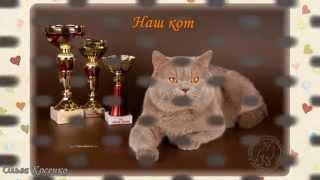 Британская кошка. Британские котята. Серия 1