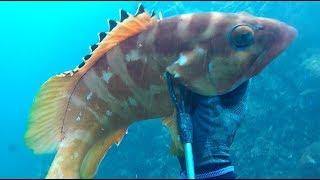【軽装魚突き】アカハタ(41.5cm)記録更新【素潜り モリ 手銛 料理 spearfishing grouper】2017.09.13
