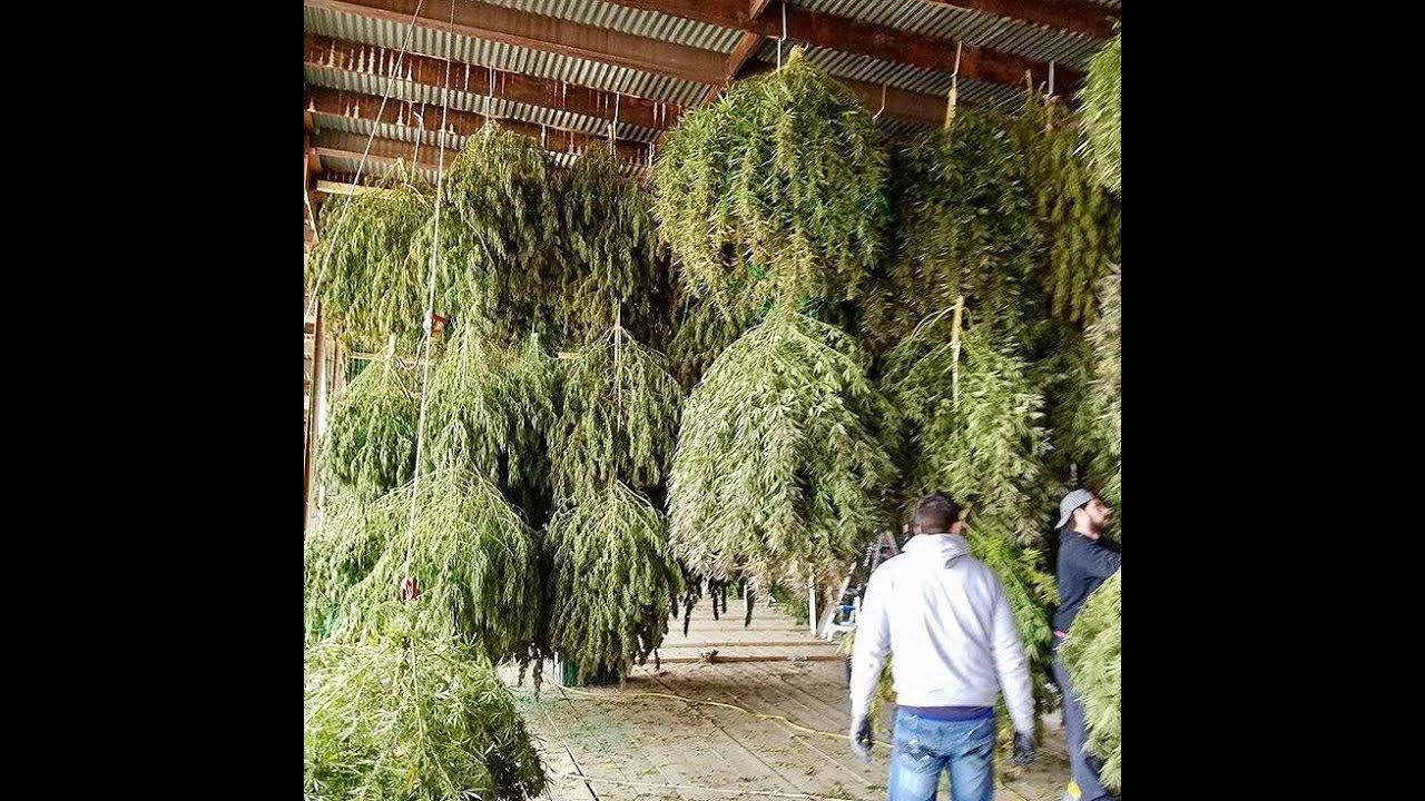 Ommp big buds legal weed oregon ganja backyard 24 plants for Indoor gardening rainier oregon