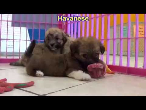 Havanese, Puppies, Dogs, For Sale, In Albuquerque, New Mexico, NM, 19Breeders, Rio Rancho