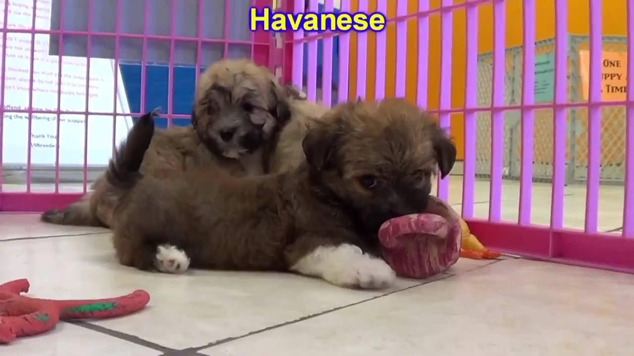 Havanese Puppies Dogs For Sale In Albuquerque New Mexico NM