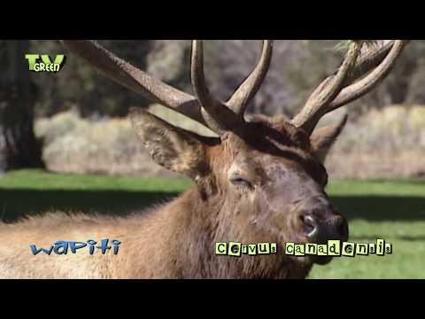 Wapiti rut in Yellowstone National Park - elk - cervus canadensis #11