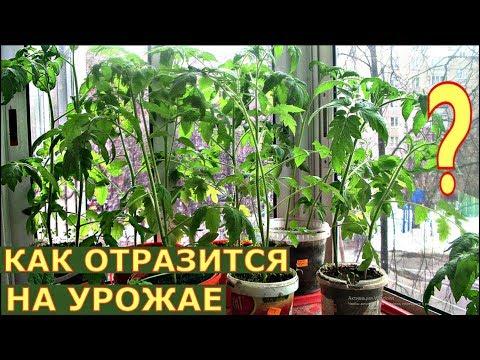 Как СПАСАЕМ ВЫТЯНУВШУЮСЯ рассаду томатов?