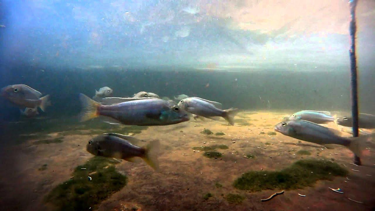 流星鯛 Buccochromis rhoadesii @ 【AsirFish】 阿賜熱帶魚繁殖場 :: 痞客邦