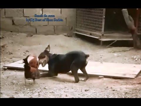 Smeh Do Suza  -  Blesavi Petao Protiv Psa / Funny Crazy Rooster And Dog