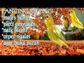 Pancingan Pleci Paling Efektif Cukup mnt Pleci Bisu Riwikan Jadi Cepet Respon Ngalas  Mp3 - Mp4 Download