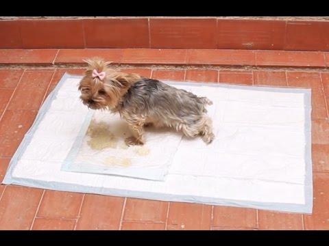 Cómo enseñar a un perro a hacer sus necesidades en un empapador
