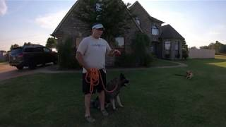 Dog Obedience training.  First time training an Akita.  See how Kenji does.