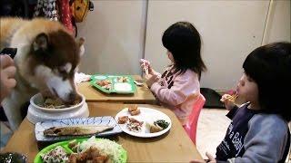 Siberian Husky 孫達の普通の食事風景です。 この日はパパも残業無しで...