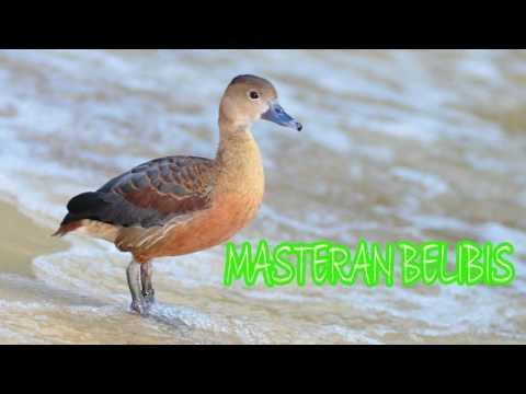 Download Suara Masteran Belibis