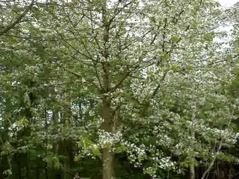 Loveliest of trees the cherry now by A E Housman