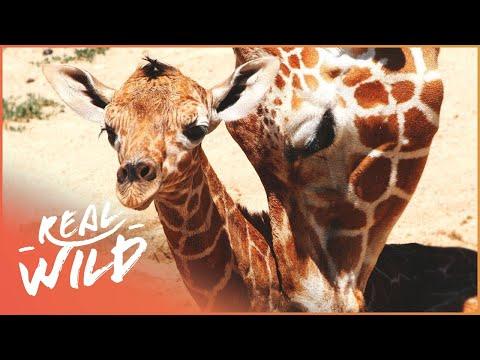 Newborn Giraffe In The Dublin Zoo | The Zoo | Real Wild