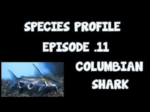 SPECIES PROFILE│COLUMBIAN  SHARK│