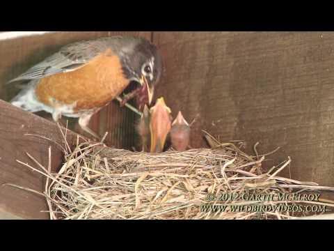 Nesting American Robins - Maine