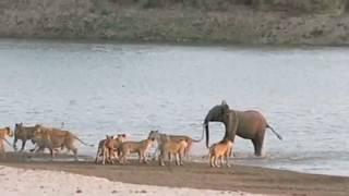Борьба за выживание . Слоненок и львы .