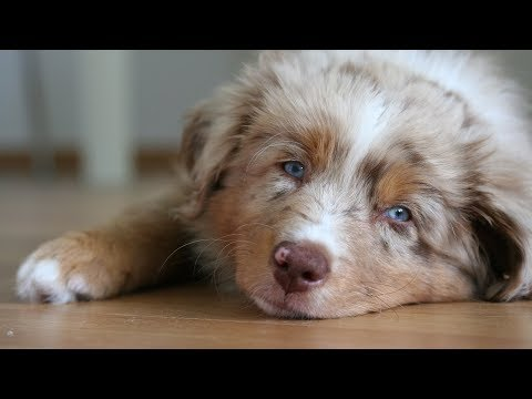 Pekka the Australian Shepherd Puppy