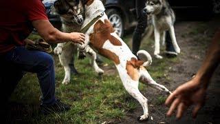Питбуль напал на собаку | 18 + | Питбультерьер против маламута