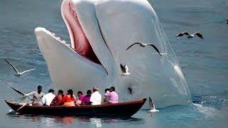 Balinalar Çıldırdığında, '' En Büyük 5 Balina İnsanları Yuttu!! ..!