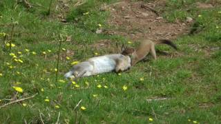 STOAT HUNTING A RABBIT by Alan Kingwell