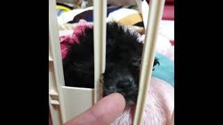 [실버푸들][은비] 검은콩 두유