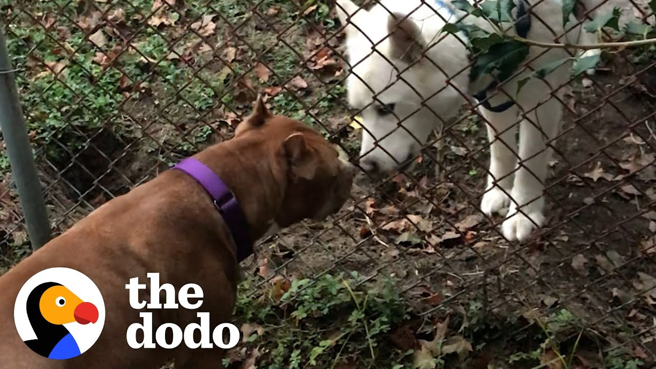 Pittie Wasnt Allowed Around Dogs Becomes Best Friends With Dog Neighbor.The Dodo Pittie Nation