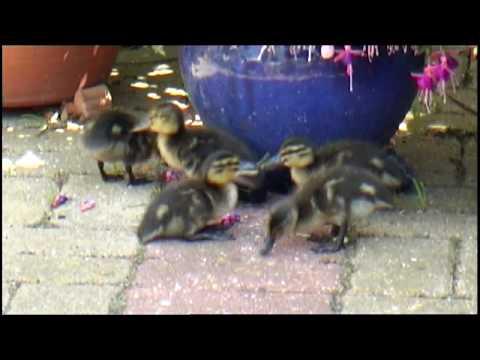 Ducks in my garden