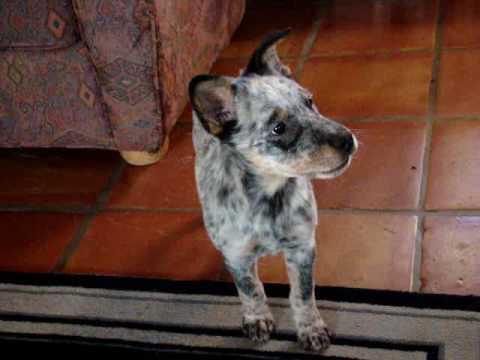 Little Georgie howling - the Blue Heeler puppy