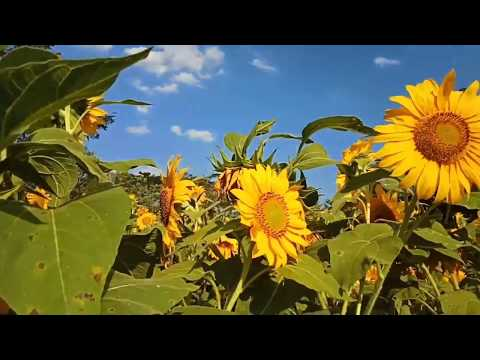 """yang-terbaru,-kebun-bunga-matahari-""""taman-bunga-nawari"""".-nyesel-kalo-belum-ke-sini."""